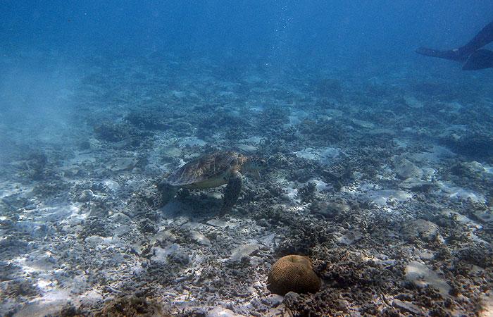 座間味 海ガメ