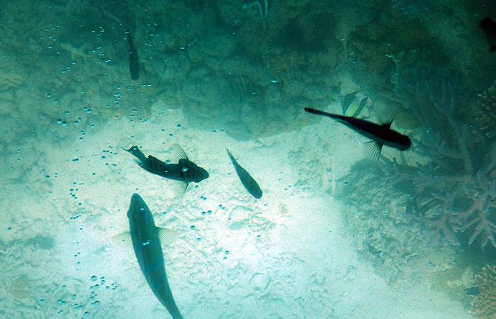 川平湾グラスボート 魚