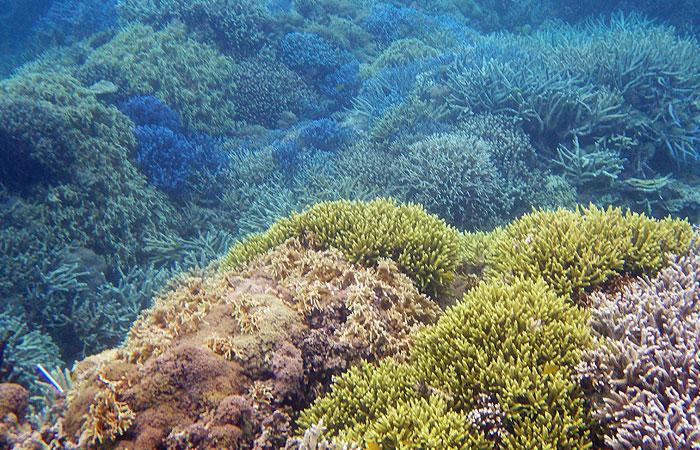 西表島 シュノーケル 珊瑚