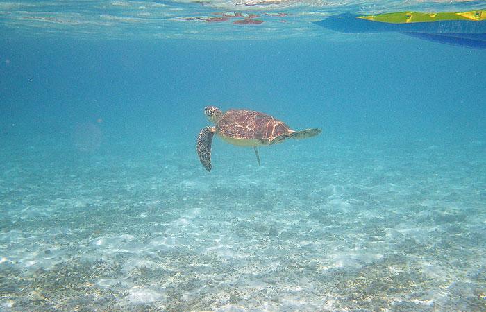 泳ぐウミガメ