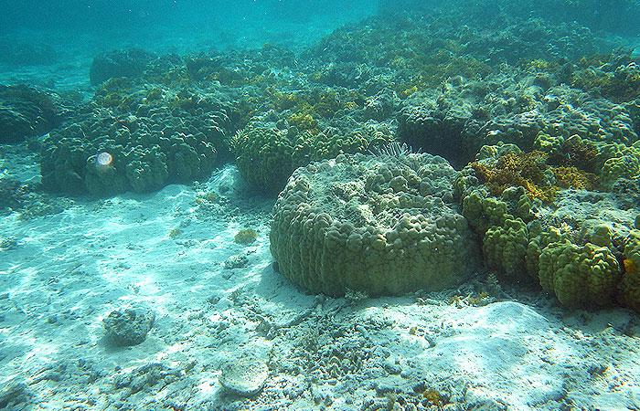 座間味の珊瑚
