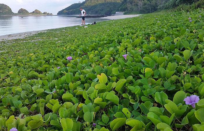 浜辺の植物