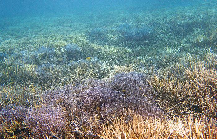 西表島 青珊瑚