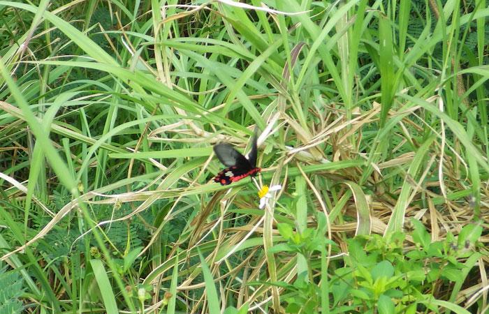 石垣島の蝶
