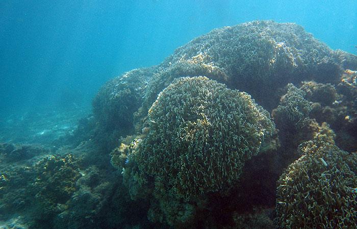 阿波連ビーチ 珊瑚