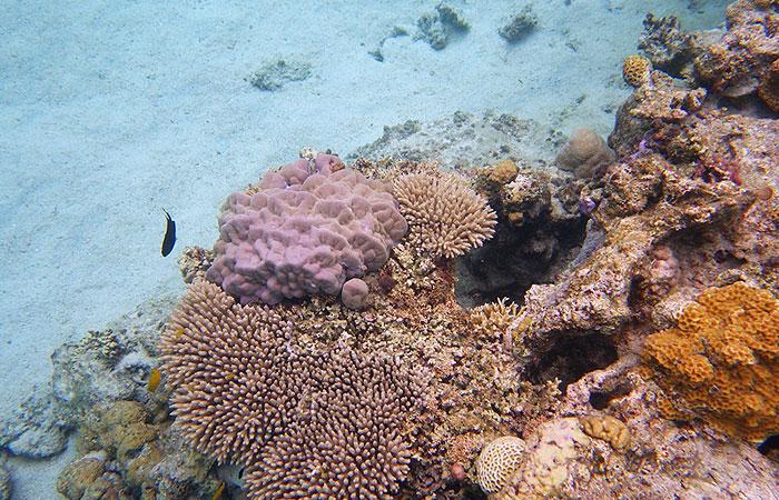 テーブル珊瑚