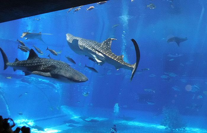 黒潮の海 ジンベエザメ